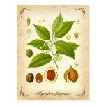 Nutmeg - vintage illustration postcard