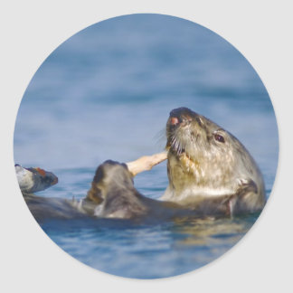 Nutria de mar de California que come la almeja Pegatina Redonda