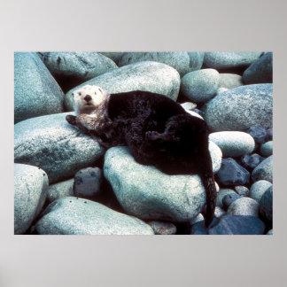 Nutria de mar en rocas impresiones