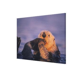 Nutria de mar, lutris del Enhydra Impresión En Lienzo Estirada