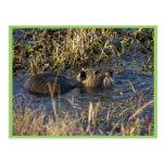 Nutria en agua tarjeta postal