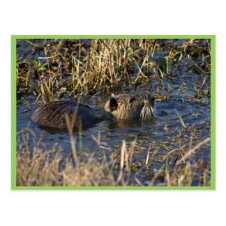 Nutria in water postcard