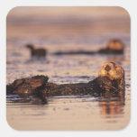 Nutrias de mar, lutris 3 del Enhydra Calcomanías Cuadradass