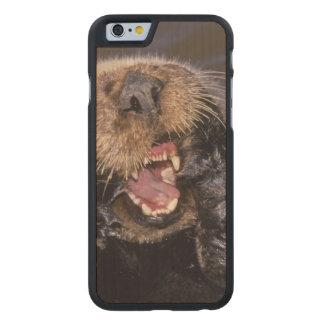 Nutrias de mar, lutris 6 del Enhydra Funda De iPhone 6 Carved® Slim De Arce