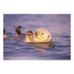 Nutrias de mar, lutris del Enhydra Impresiones Fotográficas