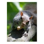Nutty Squirrel Postcard