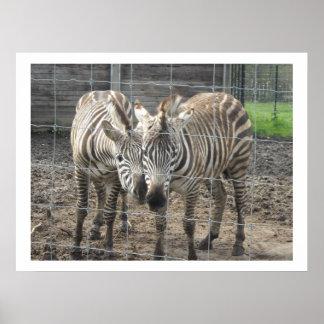 Nuzzling Zebras Poster