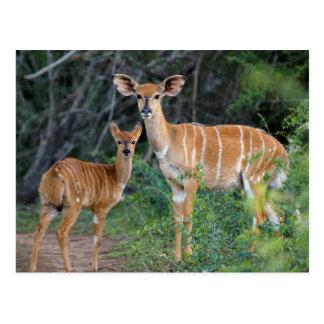 Nyala (Tragelaphus Angazii) With Young, Ndumo Postcard