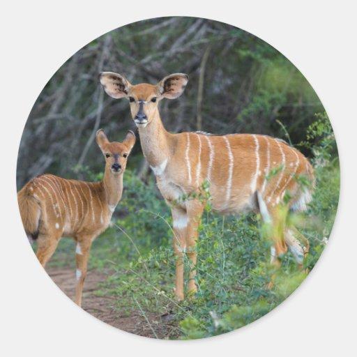 Nyala (Tragelaphus Angazii) With Young, Ndumo Round Stickers