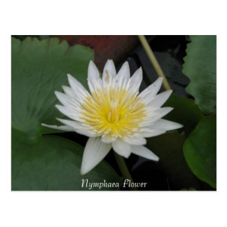 Nymphaea Flower Postcards