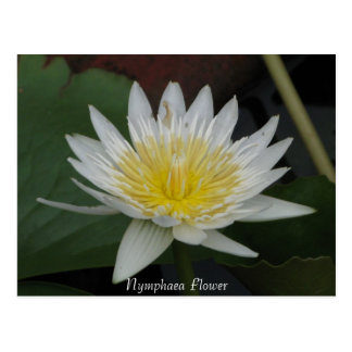 Nymphaea Flower Post Card
