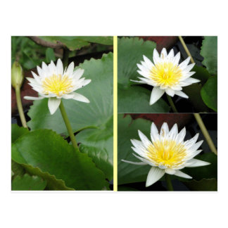 Nymphaea Flower Post Cards