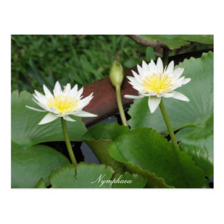 Nymphaea Flower Waterlily Postcards
