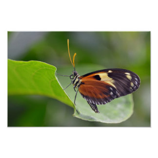 Nymphalidae butterfly on leaf poster