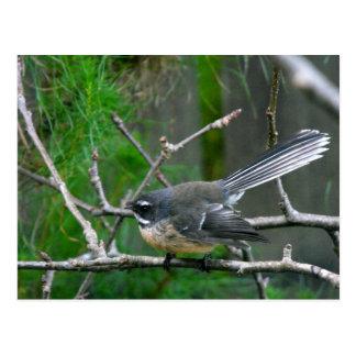 NZ Bird - Fantail Postcards