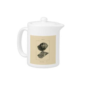 NZ Shells - Argonauta nodosa, Dolium variegatum Teapot