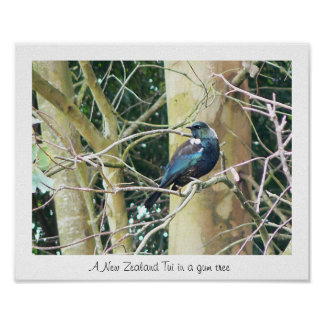 NZ Tui in a Gum Tree Poster