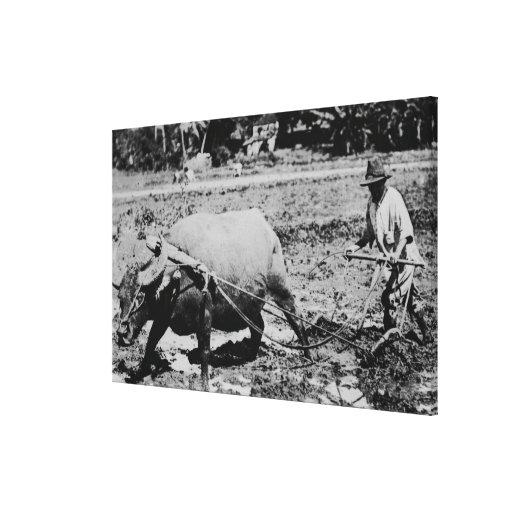 Oahu, Hawaii - A Water Buffalo & Farmer Tilling Canvas Prints
