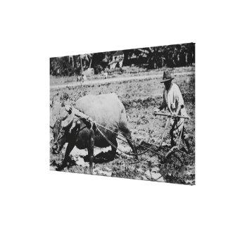 Oahu, Hawaii - A Water Buffalo & Farmer Tilling Canvas Print