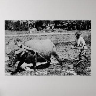 Oahu, Hawaii - A Water Buffalo & Farmer Tilling Poster