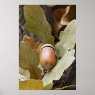 Oak acorn poster