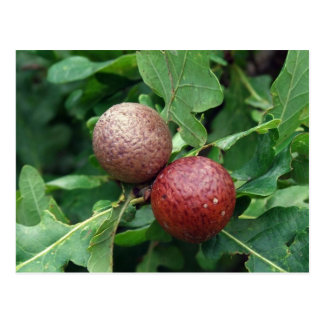 Oak Berries Postcard