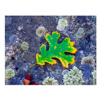 Oak Leaf and Acorns on a Lichen covered rock Postcard
