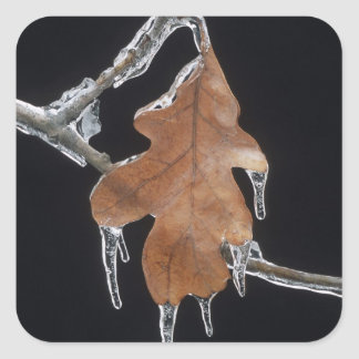 Oak Leaf with Ice Sickles After Ice Storm ; Square Stickers