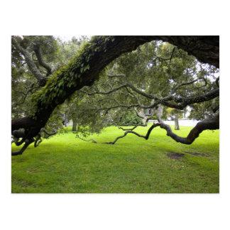 Oak on St. Simon's Island Postcard