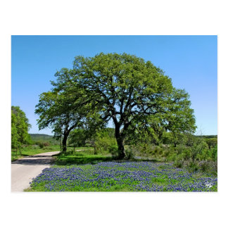 Oak Tree and Bluebonnets near Johnson City, TX Postcard