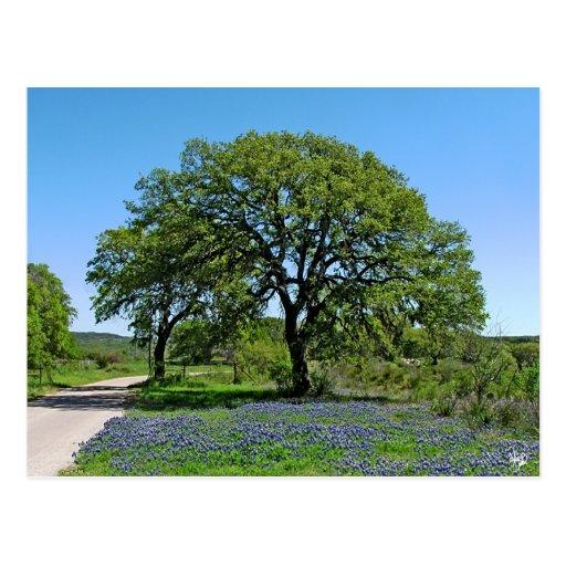 Oak Tree and Bluebonnets near Johnson City, TX Postcards