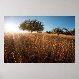 Oak tree in sunny golden meadow posters