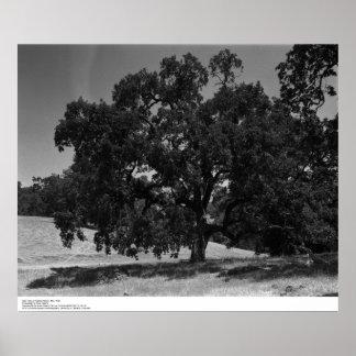 Oak Trees at Hopland Station, May 1966 Poster