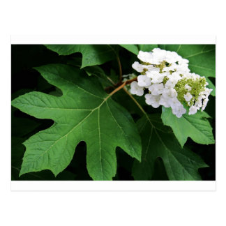 """oakleaf hydrangea"" by Coressel Productions Postcard"