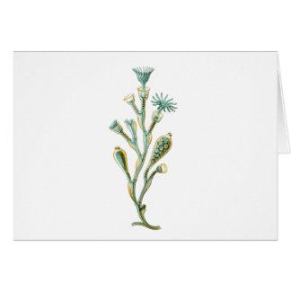 Obelia geniculata cards