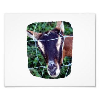 Oberhasli Alpine Doe through fence Photo Print