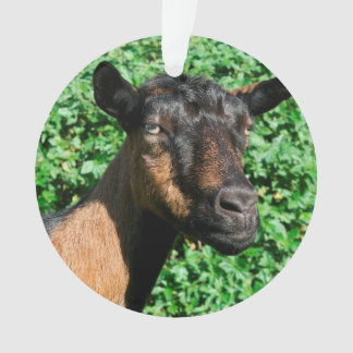 oberhasli goat doe side view
