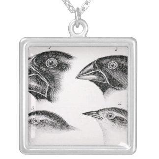 Observaciones del pájaro de Darwin Collar Plateado