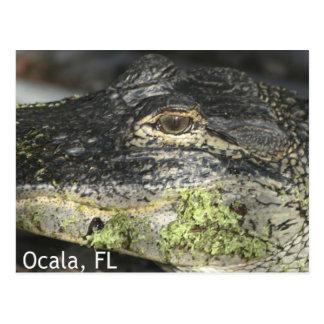 Ocala Gator Postcard