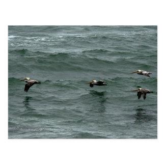 Ocean Pelicans Postcard