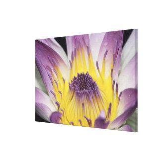 Oceania, Fiji, Purple Panama Pacifica Nymphea Canvas Print