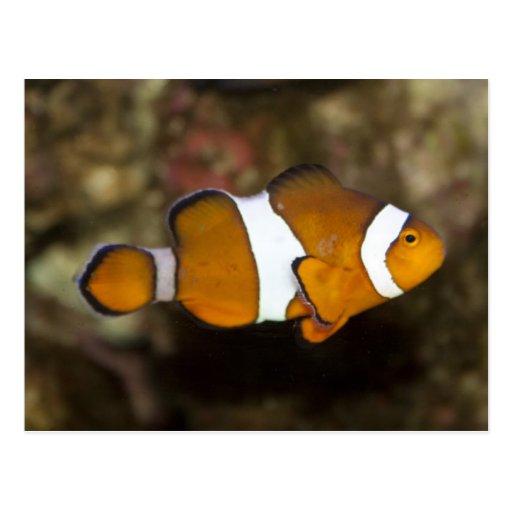 Ocellaris Clownfish Postcard