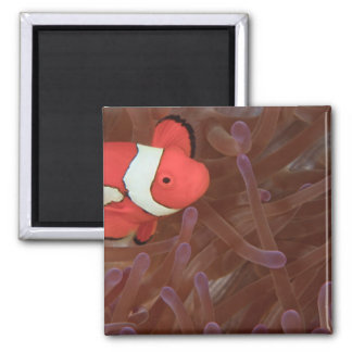 Ocellated Anemonefish Amphiprion ocellaris) 2 Inch Square Magnet