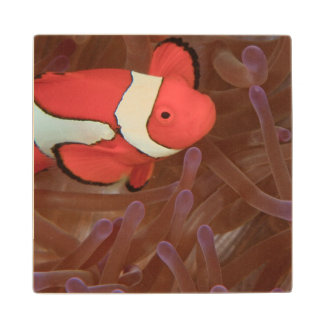 Ocellated Anemonefish Amphiprion ocellaris) Maple Wood Coaster