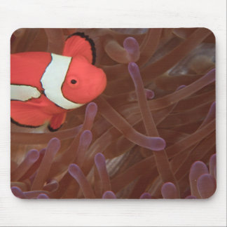 Ocellated Anemonefish Amphiprion ocellaris) Mouse Pad