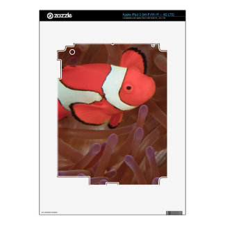 Ocellated Anemonefish Amphiprion ocellaris) Skins For iPad 3