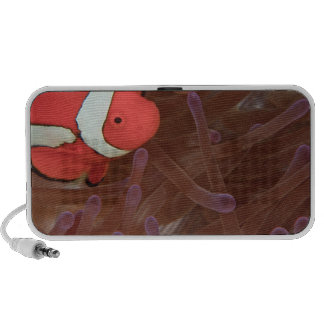 Ocellated Anemonefish Amphiprion ocellaris) Speaker