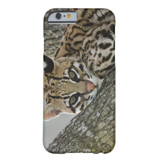 Ocelot, Felis pardalis, captive, female resting 2 Barely There iPhone 6 Case