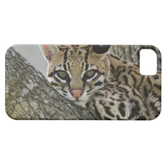 Ocelot, Felis pardalis, captive, female resting 2 iPhone 5 Case