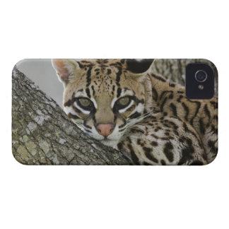 Ocelot, Felis pardalis, captive, female resting 2 iPhone 4 Case